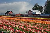 Tulips in Skagit County