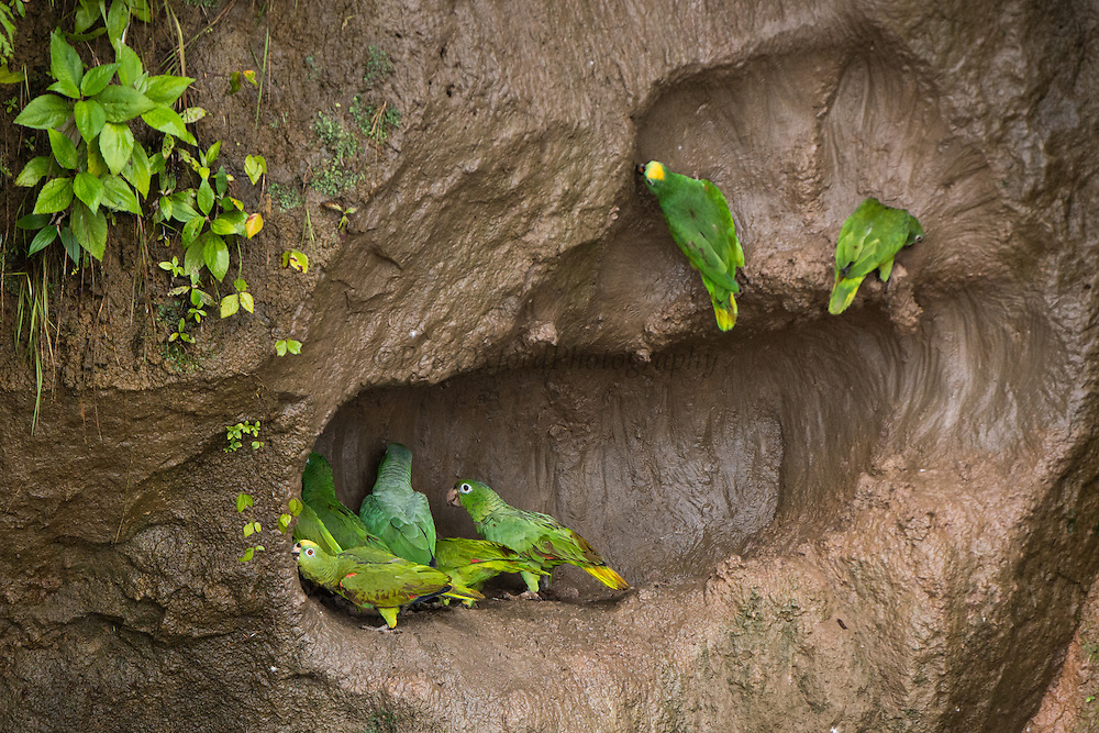 Mealy or Amazon parrot (Amazona farinosa) & Yellow-crowned parrots (Amazona ocrocephala)<br /> Salt or mineral lick<br /> Napo River<br /> Yasuni National Park<br /> Amazon Rain Forest. ECUADOR. South America<br /> RANGE: e Panama south to Colombia, the Guianas, ne Bolivia and e Brazil