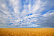 Wheat crop and clouds