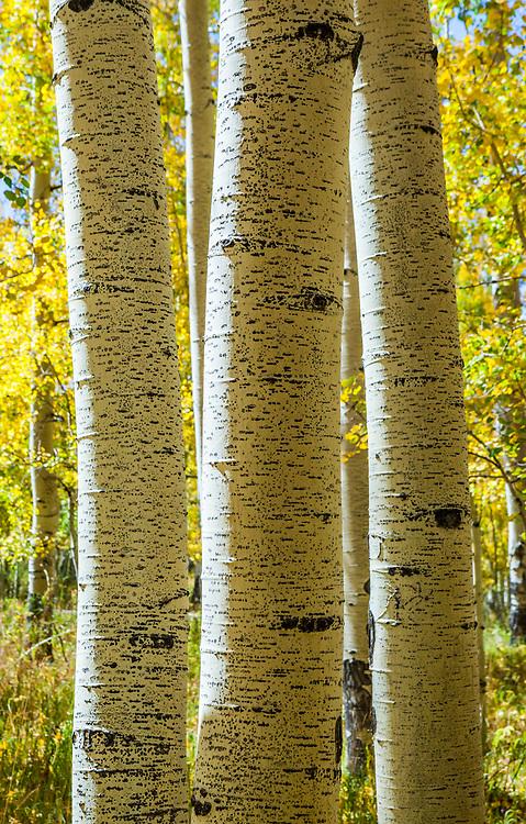 Aspen tree trunks in the La Sal mountains, Utah, USA.