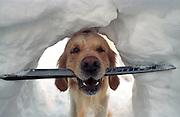 Golden Retriever Lemmy mit einem kaputten Ski im Tiefschnee in der Naehe der Schneekoppe im Riesengebirge der Tschechischen Republik. Der Golden Retriever ist ein intelligenter, freudig arbeitender Hund, dem auch extreme, nasskalte Witterungsbedingungen nichts ausmachen. Dem steht allerdings eine relativ starke Empfindlichkeit hinsichtlich hoher Temperaturen gegenüber. Grundsätzlich ist die Rasse ruhig, geduldig, aufmerksam und niemals aggressiv.<br /> <br /> Golden Retriever Lemmy in deep snow with a broken ski close to the Snieska Peak at the Giant Mountains in Czech Republic.