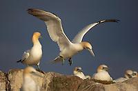 Gannet (Morus bassanus) in flight, Saltee Islands, Ireland
