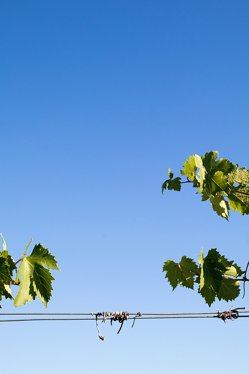 Close-Up of growing grape Vine against sky, Val di Pesa, Tuscany, Italy