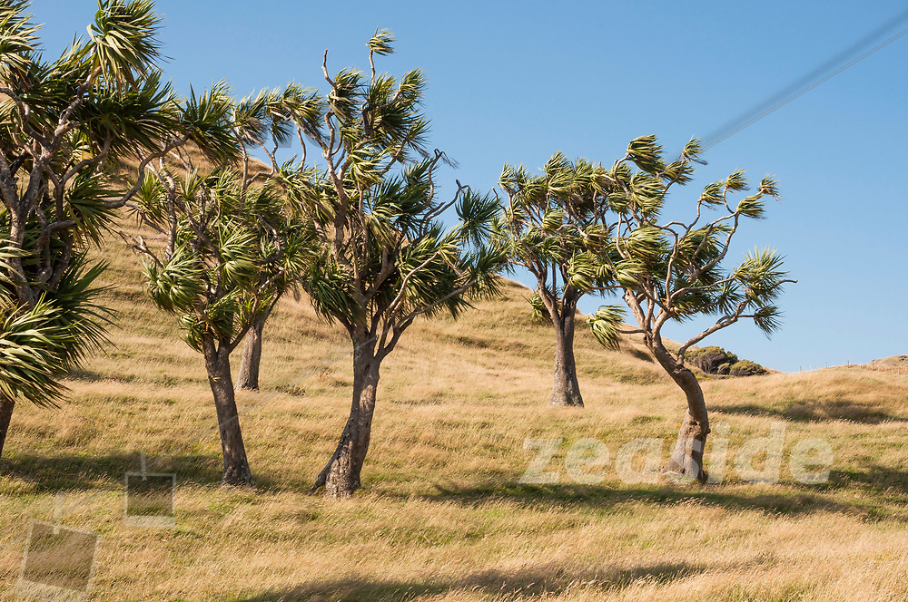 Cabbage trees in the dunes of Wharariki Beach. As so much of New Zealands forests had been destroyed and converted into eroding graslands for sheep and cattle, Wharariki makes no exception. The eternal strong westerly flow at this spot turns most trees into wind-bent shapes. The cabbage tree, in particular, is dancing in the wind like a cheerleader.