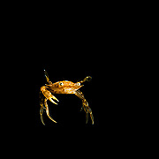 A Sargassum swimming crab (Portunus sayi) at night in the Sargasso Sea, Atlantic Ocean, International Waters.