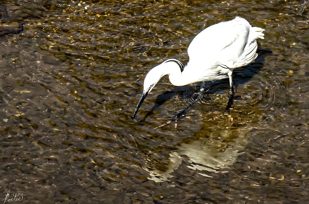 A Little Egret capturing breakfast along the Gilão river in Tavira, Portugal
