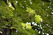 green Maple tree leaves in sunlight