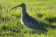 Curlew, Numenius arquata, Elmley National Nature Reserve, UK, grazing marsh, adult, back-lit.