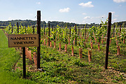 Grape vines growing in Nannette's Vineyard, Hush Heath Winery, Staplehurst, Kent, England, UK.  The grapes are used to produce Balfour Nannette's Rose Wine.  (photo by Andrew Aitchison / In pictures via Getty Images)