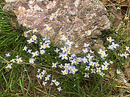 Cornwall, New York - Wildflowers bloom next to puddingstone on a Schunnemunk Mountain hike on May 28, 2018.