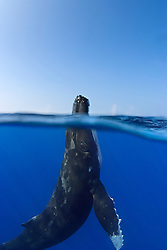 split view of spyhopping humpback whale, Megaptera novaeangliae, Hawaii, USA, Pacific Ocean
