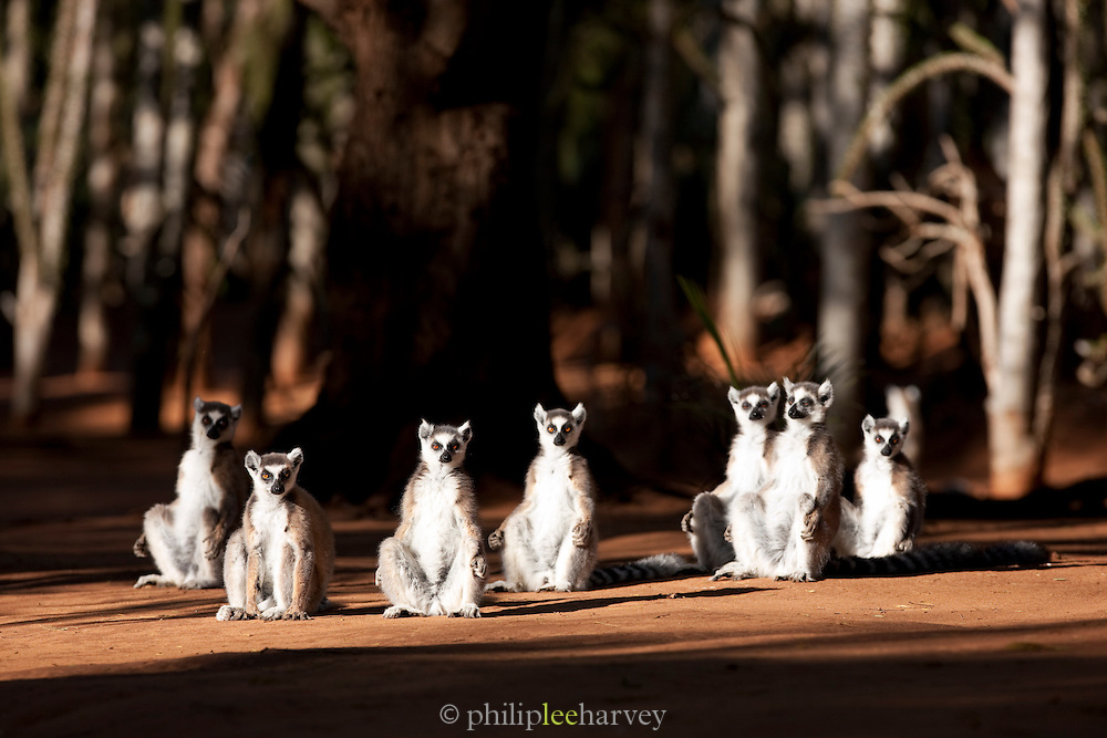 A group of Ring Tailed Lemurs, Berenty Reserve, Madagascar. Ring Tailed Lemurs must sunbathe in the mornings in order to raise their body temperature after the cold night.