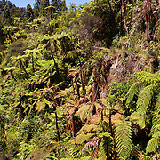 Lush tree ferns line the river bank in the Whanganui National Park, North Island, New Zealand. 30th December 2010. Photo Tim Clayton