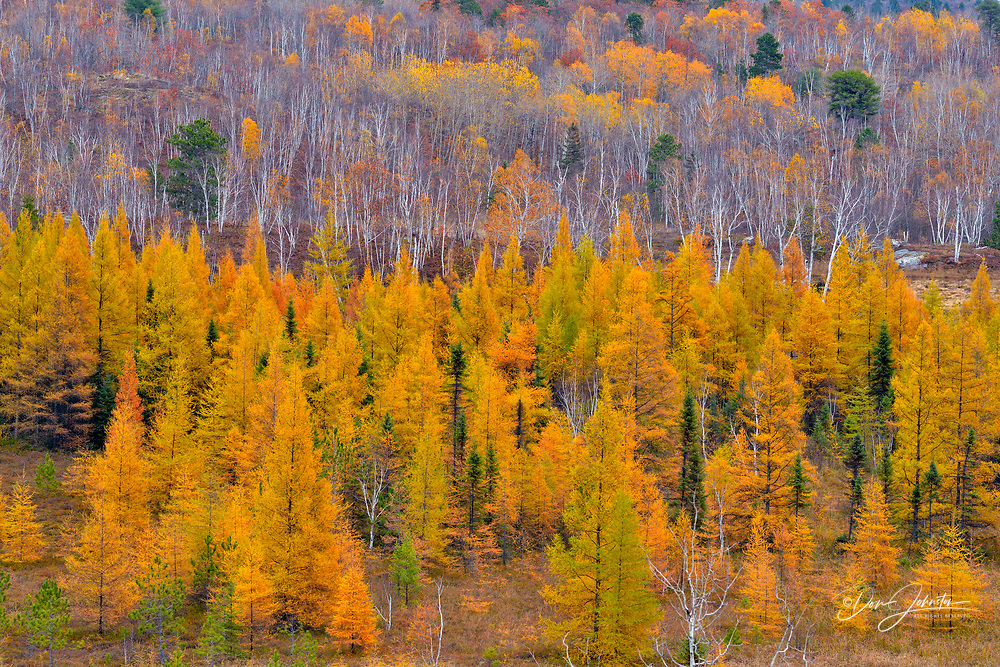 Autumn larch trees in a valley, Greater Sudbury, Ontario, Canada