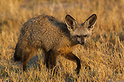 Bat-eared fox (Octocyon megalotis) Duba Plains.<br /> Okavango Delta. BOTSWANA. Southern Africa.<br /> HABITAT: Open plains and dry pans. They are mostly nocturnal but can be seen lying outside of their burrows during the day. They dig their own burrows which can be up to 3 meters deep.<br /> Small carnivore weighing about 4kg's with a shoulder height of 30cm.<br /> These small carnivores eat mostly insects, termites, locusts, grasshoppers and beetles. Sometimes they eat fruit, small rodents, reptiles, seeds, scorpions and carrion. Their large ears provide for sensitive hearing so they are able to hear termites underground and then dig them up. They also provide a large surface area which helps the fox to lose heat which is vital as they tend to live in hot regions.<br /> Bat-eared foxes are prone to rabies and during the 80's a rabies outbreak serverely depleted their numbers in Southern Africa.