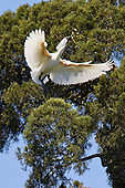 Royal Spoonbill Pictures - Photos