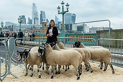 © Licensed to London News Pictures. 26/09/2021. LONDON, UK.  Amanda Owen, The Yorkshire Shepherdess, with sheep on Southwark Bridge during the annual sheep drive.  Organised by Worshipful Company of Woolmen, the event recognises the historical right of Freemen of the City to drive sheep over the Thames and into the City.  Photo credit: Stephen Chung/LNP