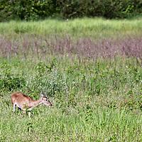 South America, Brazil, Pantanal. A Marsh Deer in the grasslands of the Pantanal.