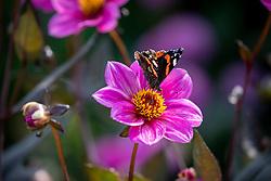 Red Admiral butterfly - Vanessa atalanta - on Dahlia Happy Single Juliet syn. 'Hs Juliet'  - Happy Single Series