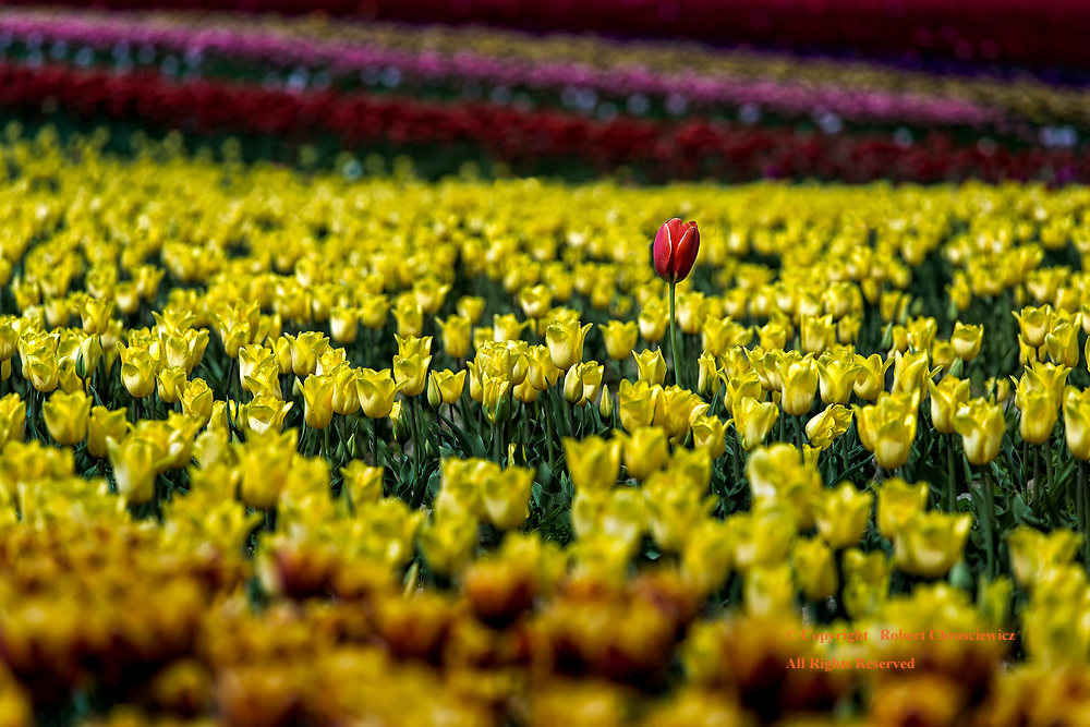 Red Over Yellow: A red tulip rises well above a veritable sea of yellow tulips, Agassiz British Columbia, Canada.
