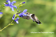01162-15118 Ruby-throated Hummingbird (Archilochus colubris) at Blue Ensign Salvia (Salvia guaranitica ' Blue Ensign') in Marion County, IL