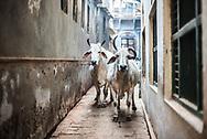 Cows on the streets of Varanasi, Uttar Pradesh, India