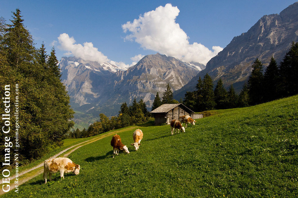 Cattle grazing an alpine pasture within sight of the Wetterhorn.
