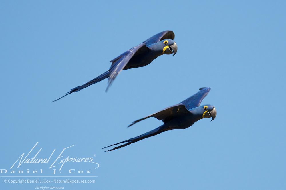 Hyacinth Macaw, Parnaiba Headwaters National Park,, Brazil.