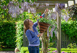 Putting up a hanging basket on a pergola