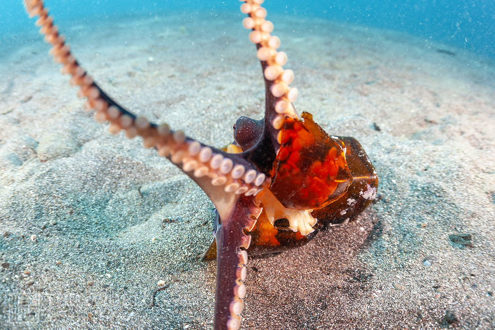This sequence depicts a veined octopus (Amphioctopus marginatus) using a broken bottle as a portable shelter. The octopus was carrying a small crab that it had caught for a meal. Image 5 in a series of 15.