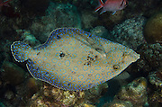 Peacock Flounder (Bothus lunatus)<br /> BONAIRE, Netherlands Antilles, Caribbean<br /> HABITAT & DISTRIBUTION: Coral, sand and seagrass areas often near patch reefs.<br /> Bahamas, Caribbean, Bermuda, Brazil & Ascension Island