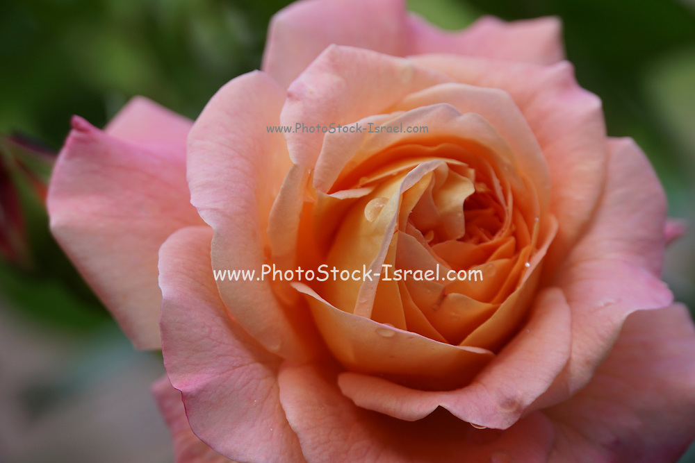 salmon coloured perfect rose in a garden