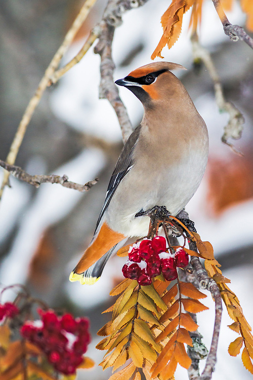 Alaska.  Adult Bohemian Waxwing (Bombycilla garrulus) perched on a branch while feeding on mountain ash berries (Sorbus sp.) in Anchorage in February.  Waxwings congregate in large flocks during the winter and forage widely looking for trees and shrubs with berries or fruit.