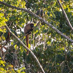 Guigo (Callicebus personatus) fotografado na Reserva Biológica de Sooretama em Linhares, Espírito Santo, Brasil. Registro feito em 2013 <br /> <br /> ENGLISH: Masked titi monkey photographed in Sooretama Biological Reserve in Linhares, Espírito Santo, Brazil. Picture made in 2013.