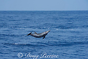 pantropical spotted dolphin, Stenella attenuata, jumping, South Kona, Hawaii ( the Big Island ), USA, Central Pacific Ocean