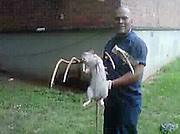 25/08/2011<br /> Housing worker kills monster, 3ft rat in New York project ... and says there are more<br /> <br /> <br /> A huge rat has been speared to death by a pitchfork at a sprawling New York housing project.<br /> Jose Rivera, a Housing Authority worker, was clearing a rat hole at the Marcy Houses in Brooklyn when three of the mutants popped out.<br /> He was only able to nab one. It appears to be almost three feet long, including the tail, is covered in white fur and looks well-fed.<br /> Mr Rivera, 48, said: 'I hit it one time and it was still moving.<br /> <br /> 'I hit it another time and that's when it died. I'm not scared of rats but I was scared of being bitten.'<br /> Naomi Colon, head of the Marcy Houses Tenant Association, said there have been sightings of the outsize rat for at least six years.<br /> She said: 'The residents have told me that they've seen it running around with other rats.<br /> 'She lived with them. She ran into the same hole they ran in.'<br /> Animal experts have identified the monster rodent as a Gambian pouched rat, which is a fairly common pet rat.<br /> They are nocturnal, can grow to three feet and weigh four pounds or more and live seven or eight years, the New York Daily News reports.<br /> Imports have been banned since 2003, when they were blamed for a monkeypox outbreak that sickened 100 people in the U.S.<br /> Dr Paul Calle, director of zoological health at the Wildlife Conservation Society, said the Marcy Houses specimen was probably an escaped or discarded pet who decided to join the regular rats.<br /> He said: 'They are a very social animal and live in big groups in the wild.<br /> 'Our Norway rats are the closest big rodents it could accompany.'<br /> He said they can be trained to sniff out landmines,adding that 'they're pretty remarkable animals.'<br /> Tenants fear that the Gambian rat has been breeding with the Norway rats and spawning a super-breed of rodents.<br /> But Mr Calle said the imported rat proba
