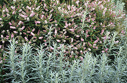 Hebe 'Watson's Pink' and Artemisia ludoviciana 'Silver Queen' at Great Dixter
