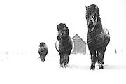 Snow horses, Reykjanes, west Iceland