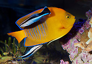 Cleaner wrasse (Labroides dimidiatus) cleaning the Clarion Angelfish (Holacanthus clarionensis) in a small reef aquarium.