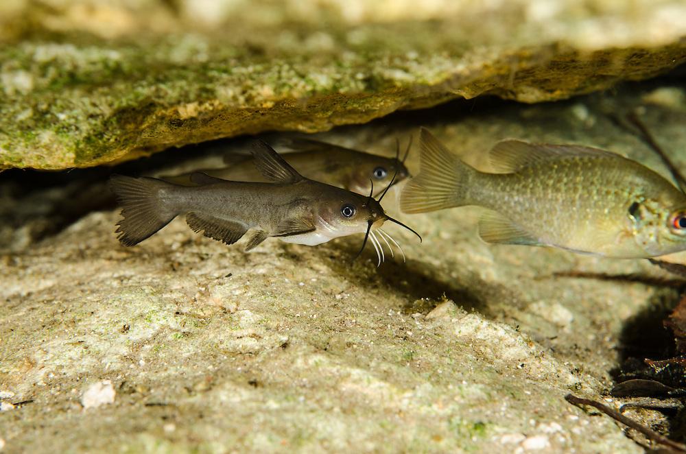Juvenile Catfish, Ginny Spring, Florida