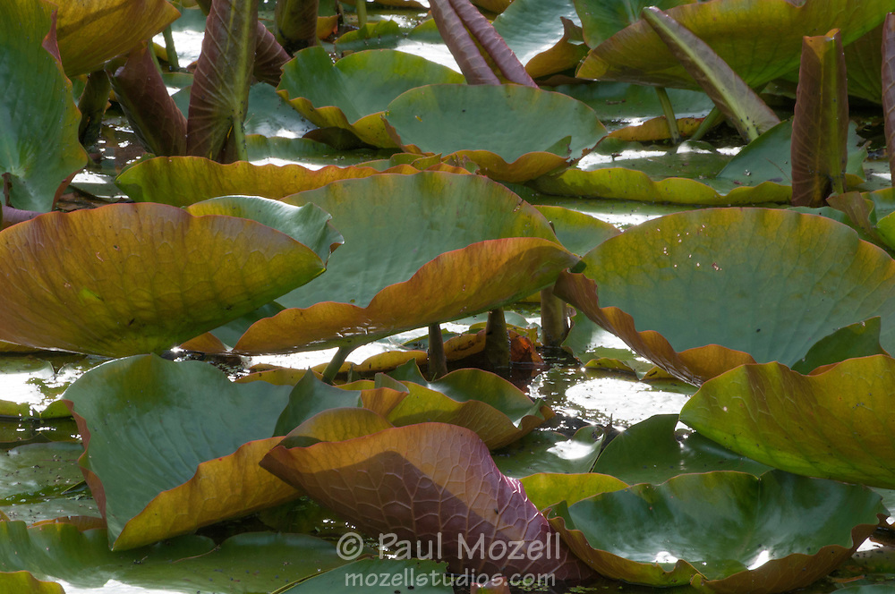Lily Pads at a wildlife Sanctuary in Topsfield, MA
