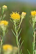 Goldilocks Aster - Galatella (Aster) linosyris