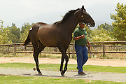 349 horses were presented to a buying audience who gathered from around the world to bid for the yearlings presented by South Africa's top stud farms. Image by Beadle Photo