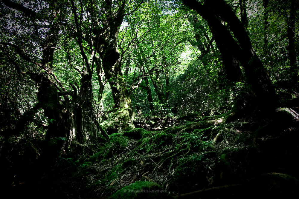 Japan, Yakushima - Mononoke forest - Roots covered with moss