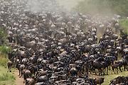 A herd of gnu or blue wildebeest (Connochaetes taurinus) gathering to cross the treacherous crocodile infested rivers of the Masai Mara during Kenya's great migration, Masai Mara, Kenya,