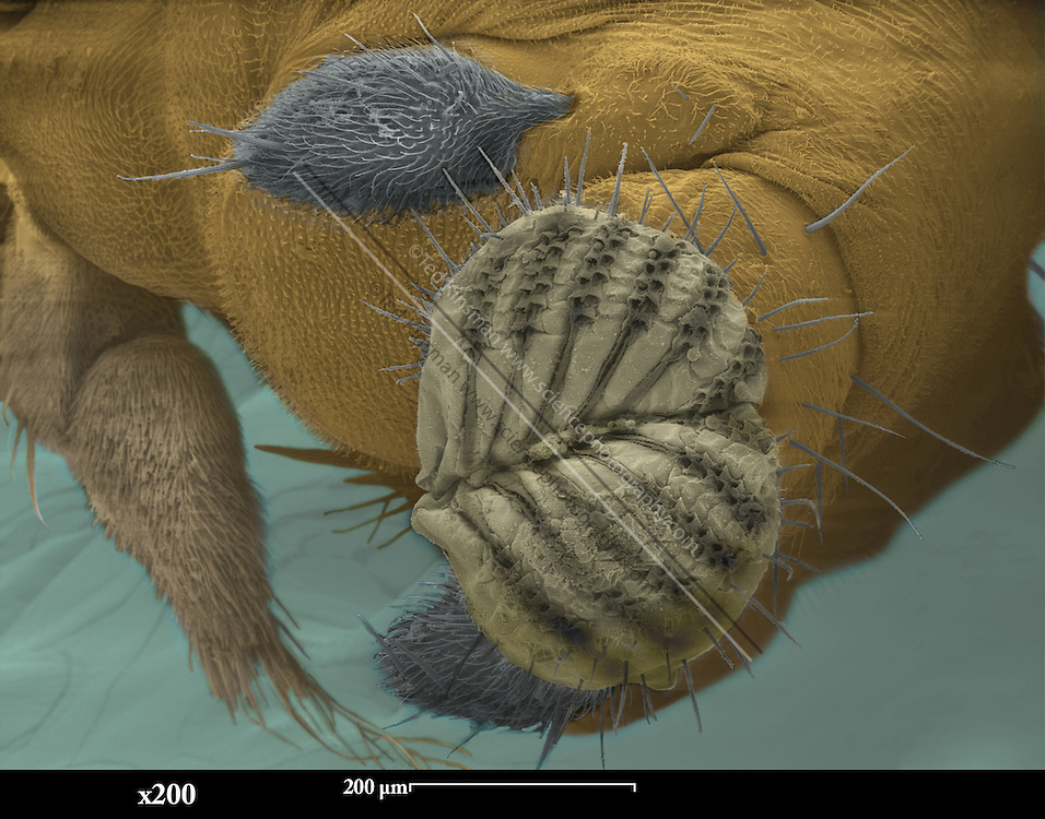 SEM of a fruit fly mouth. Scanning Electron Micrograph (SEM) of the head of a  fruit fly (Drosophila melanogaster).  Fruit flies are widely used in genetic experiments, particularly in mutation experiments, because they reproduce rapidly and their genetic systems are well understood.