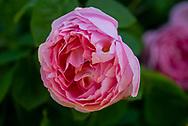 Rosa 'Gertrude Jekyll' a closeup of a deep pink rose