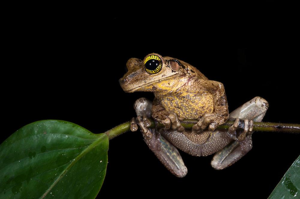 Ecuador Slender-legged Treefrog (Osteocephalus verruciger)<br /> Yasuni National Park, Amazon Rainforest<br /> ECUADOR. South America<br /> HABITAT & RANGE: