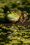 An American bullfrog (Rana catesbeiana) rests on a log in the wetlands of the Washington Park Arboretum in Seattle.