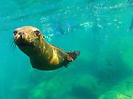 Snorkeling with California Sea Lions at Los Islotes in Baja California Mexico